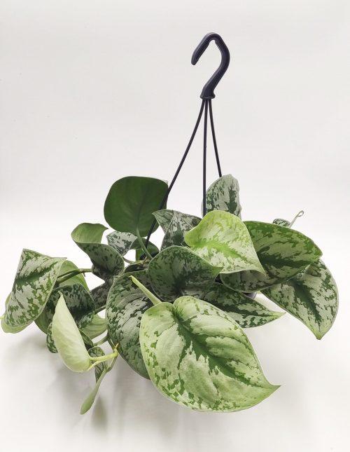 Hangplant Scindapsus online bestellen