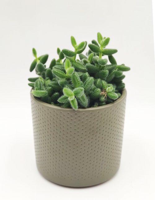 Augurkenplant online bestellen