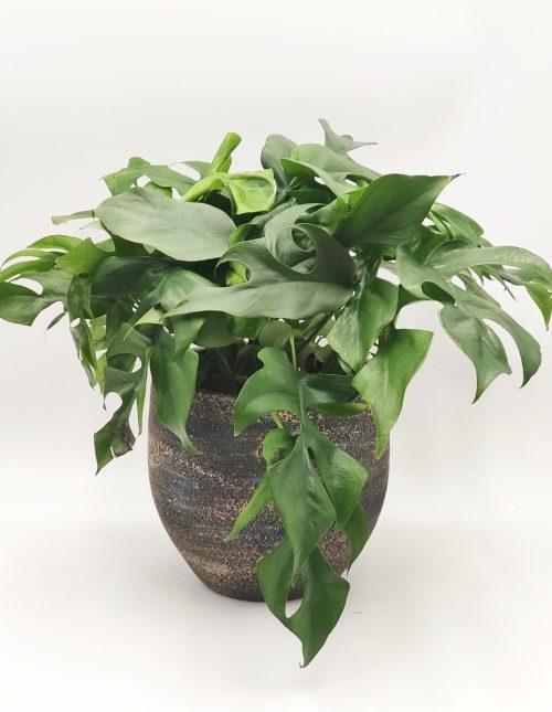 Monstera (Gatenplant) online bestellen